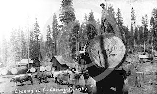 Team of bulls pulling logs, 1870s